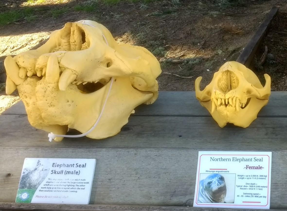 Seal_skulls.jpg